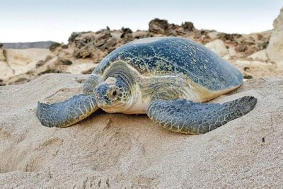 Turtle watching tour from sur Oman by sur hotel
