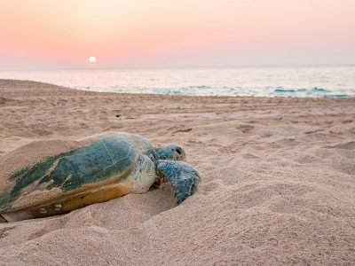 Turtle watching tour from sur Oman by sur hotel 4